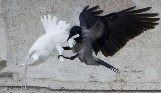 Un corvo attacca la colomba della pace rilasciata da Papa Francesco durante l'Angelus del 26 gennaio 2014